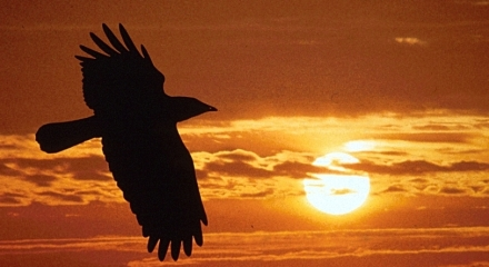 Black wings over sunset